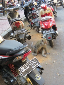 A monkey among the motor bikes on Monkey Forest Road, some distance from the entrance to the forest