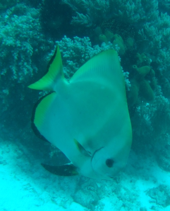 my friendly bat fish