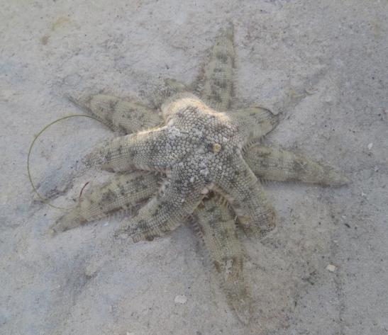 starfish piggyback